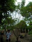 ต้นทรงบาดาล 5-a
