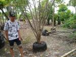 ต้นทรงบาดาล 5-b