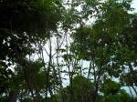 ต้นทรงบาดาล 5-c