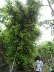 T5 ต้นไกร 18-a