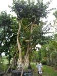 T8 ต้นอินทนิลน้ำ 36-a