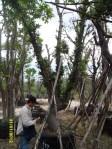ต้นกระทิง17-1