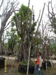 ต้นกระทิง20-1