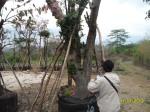 ต้นกระทิง20-2