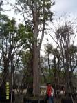 ต้นตะแบก20-1