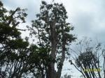ต้นตะแบก20-3