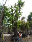 ต้นอินทนิลบก23-1