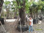 ต้นอินทนิลบก23-2