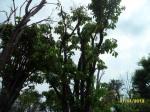 ต้นอินทนิลบก23-3