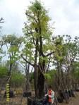 ต้นอินทนิลบก24-1