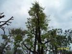 ต้นอินทนิลบก24-3