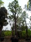 15ต้นเต็งรัง-1