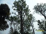 15ต้นเต็งรัง-3