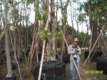 19ต้นอินทนิลน้ำ18-2