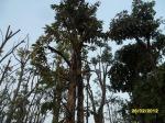 19ต้นอินทนิลน้ำ18-3