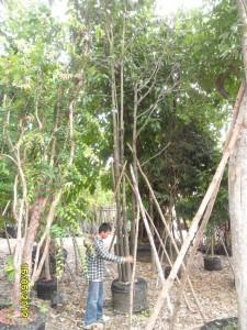 15ต้นมะเกลือ11