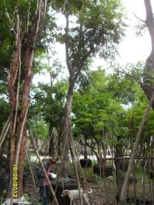 37ต้นตะคร้ำ