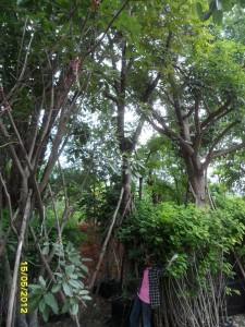 41ต้นตะคร้ำ10