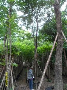 45ต้นประดู่ป่า8