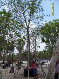4ต้นสาละลังกา13