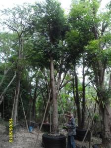 58ต้นจามจุรีสีทอง14