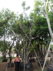 62ต้นมะกอกน้ำ24