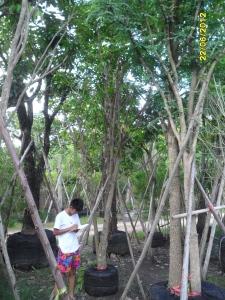 18ต้นมะปรางหวาน7
