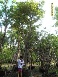 26ต้นอ้อยช้าง11