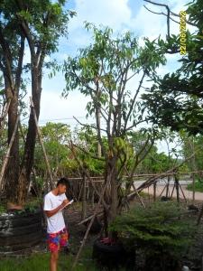 2ต้นมะปรางหวาน7