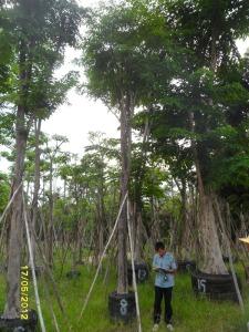 39ต้นประดู่ป่า8