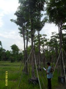 40ต้นประดู่ป่า9