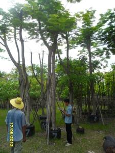 45ต้นหางนกยูงฝรั่ง(แดง)7