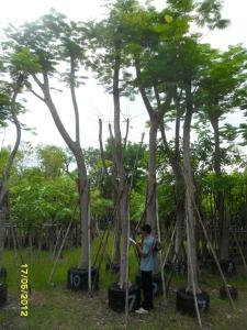 46ต้นหางนกยูงฝรั่ง(แดง)7