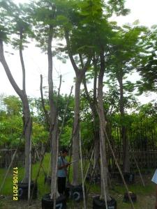 47ต้นหางนกยูงฝรั่ง(แดง)10