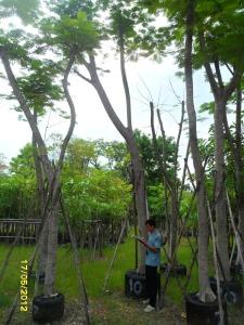 48ต้นหางนกยูงฝรั่ง(แดง)10