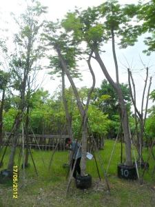 49ต้นหางนกยูงฝรั่ง(แดง)7