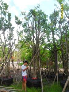 4ต้นมะปรางหวาน9