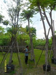 50ต้นหางนกยูงฝรั่ง(แดง)8