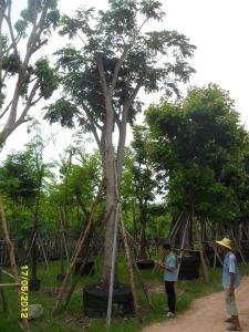63ต้นจามจุรีสีทอง16