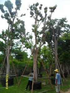 64ต้นมะไฟป่า14