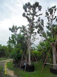 65ต้นมะไฟป่า14