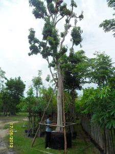66ต้นมะไฟป่า15