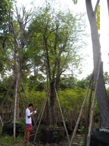 9ต้นมะเกลือ12
