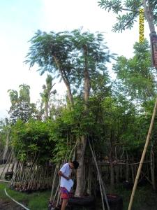 102ต้นหางนกยุงฝรั่ง(แดง)11