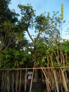 105ต้นมะค่าแต้13