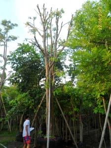 106ต้นมะปรางหวาน12
