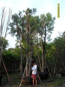 107ต้นมะปรางหวาน12