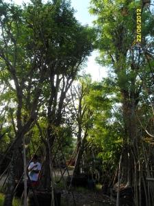 33ต้นมะเกลือ12