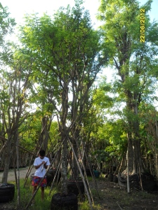 34ต้นมะเฟือง7