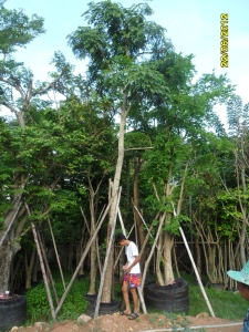 39ต้นจามจุรีสีทอง8